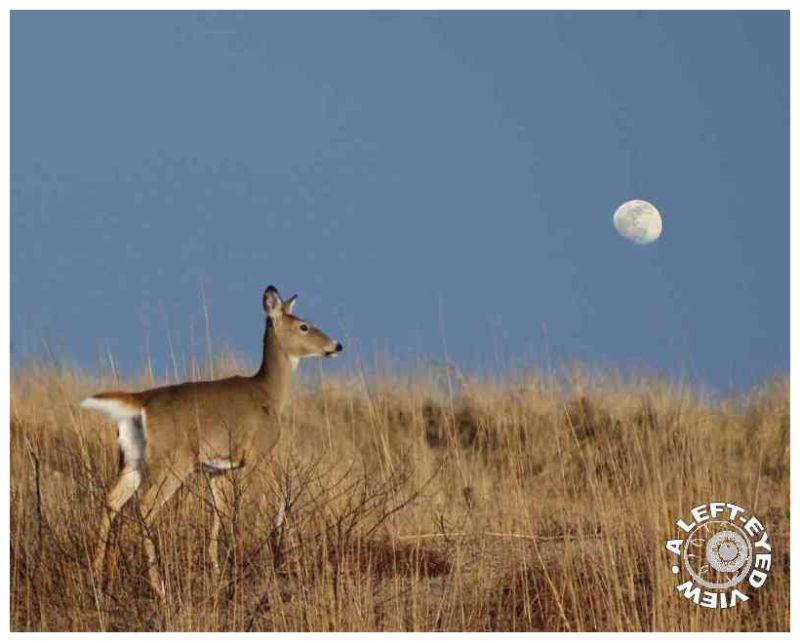 Deer Jump Over the Moon?