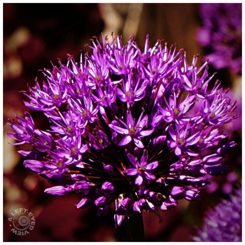 Purple Onion Flower (Allium)