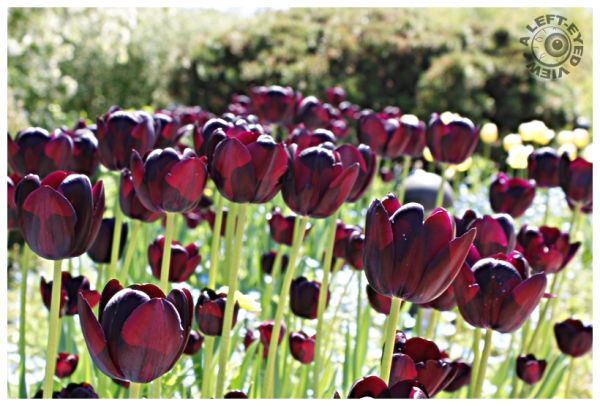 Queen of the Night Tulips, A Left-Eyed View