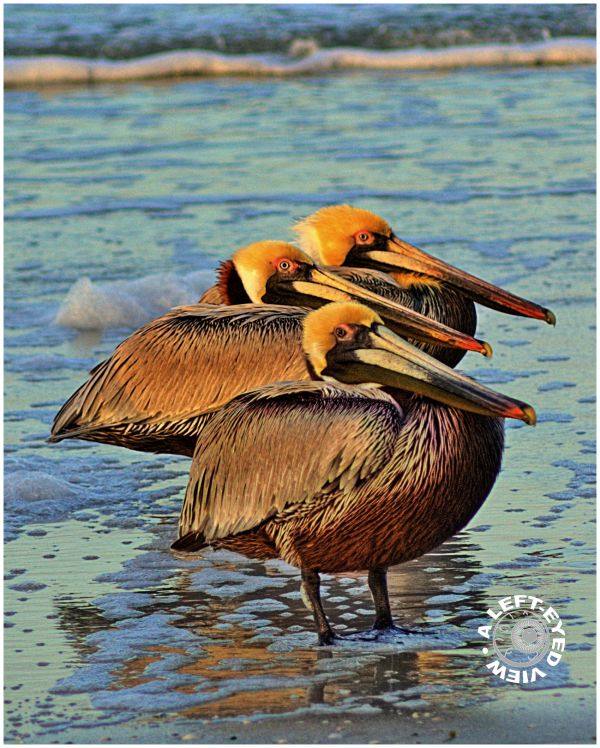 "Pelicans, Florida, ""Fort Myers Beach"""