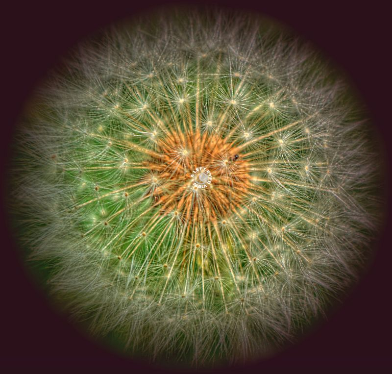 "Dandelion Puffball, ""A Left-Eyed View"""