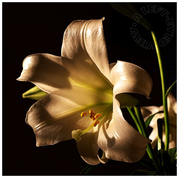 Easter lily, lily,