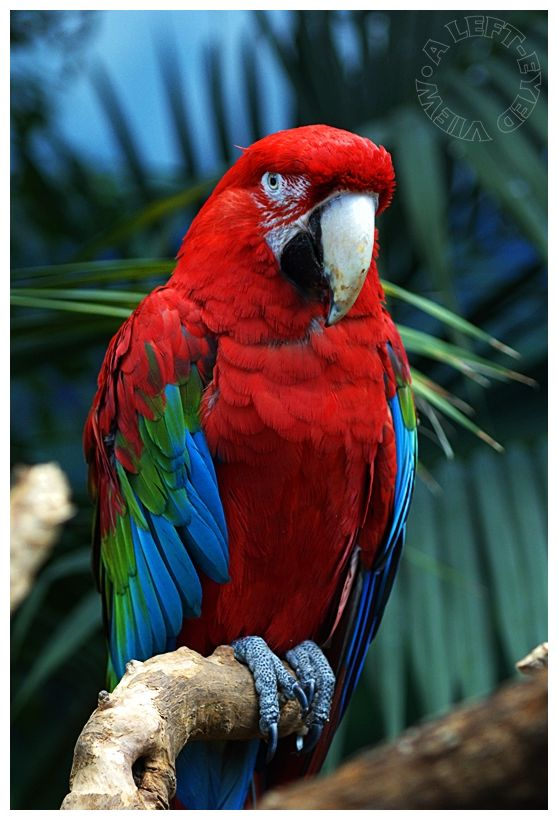 "Macaw, ""Brookfield Zoo"", ""A Left-Eyed View"""