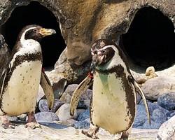 """""""Humboldt penguins"""", """"A Left-Eyed View"""""""