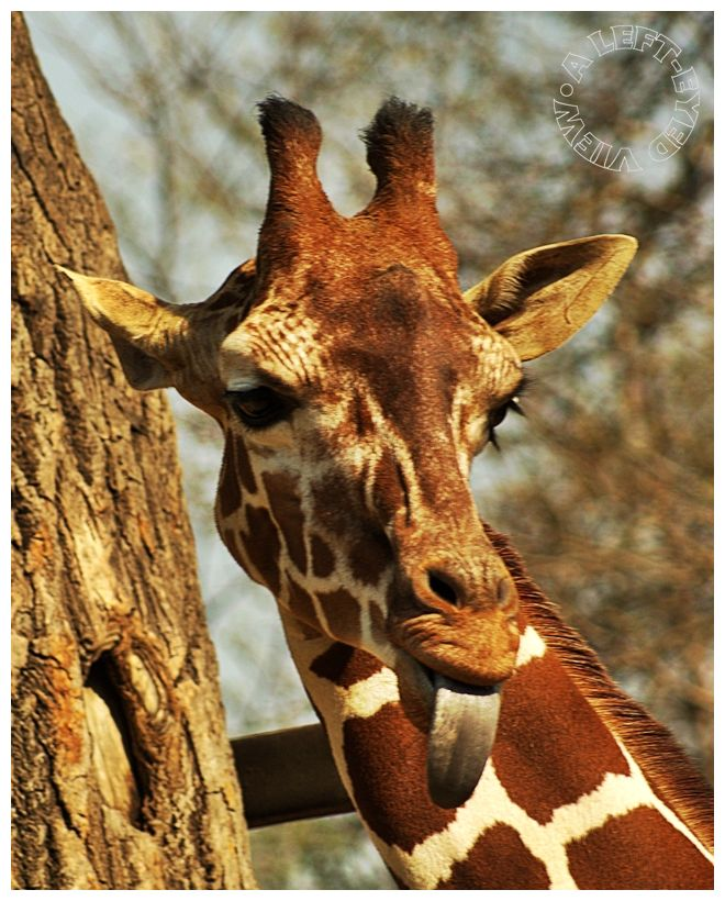 "Giraffe, ""A Left-Eyed View"", ""Brookfield Zoo"""