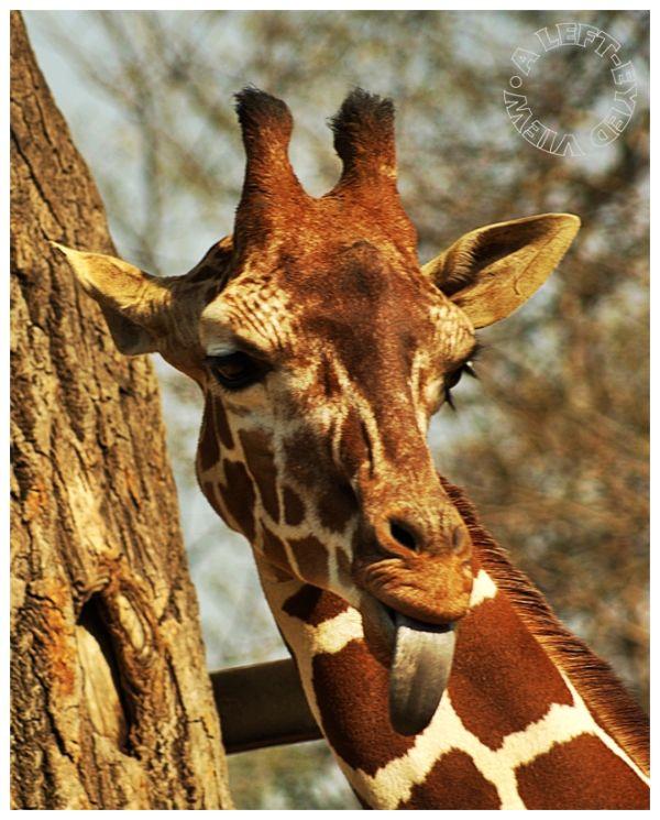 """Giraffe, """"A Left-Eyed View"""", """"Brookfield Zoo"""""""