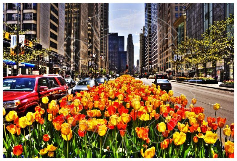 "Tulips, ""Michigan Avenue"", Chicago"