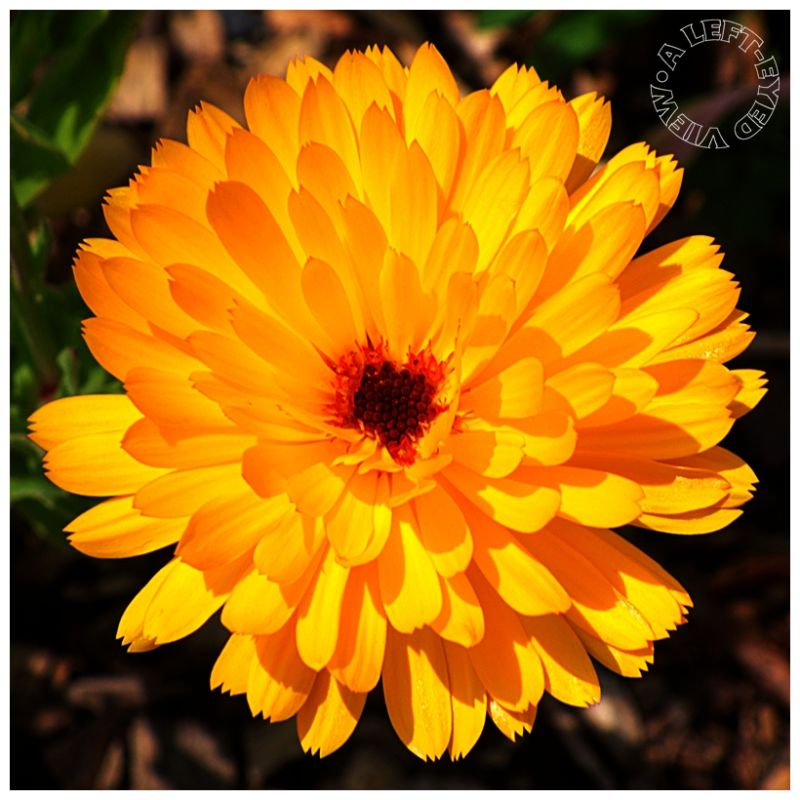 """Calendula officinalis"", aster, marigold"