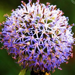 """Great globe thistle, """"A Left-Eyed View"""""""