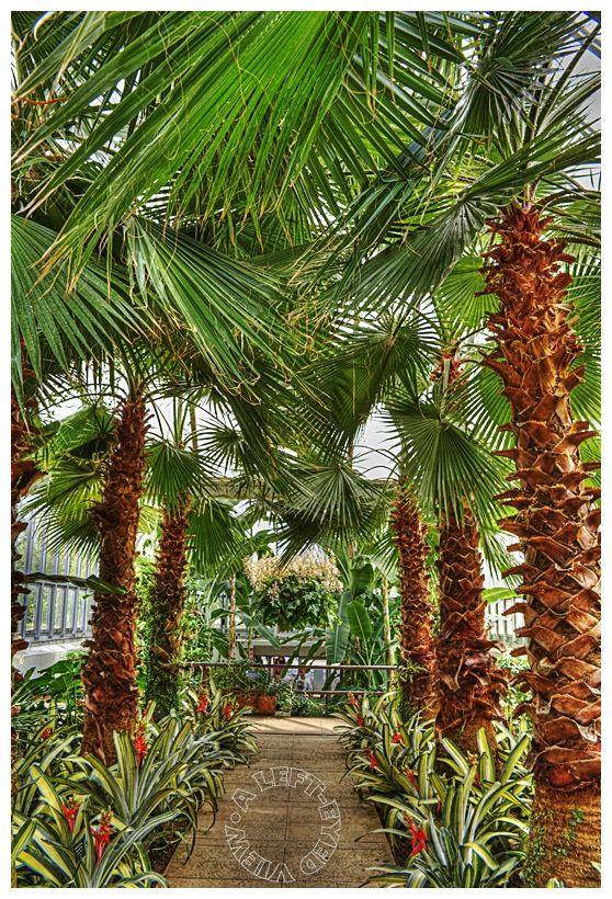 """Mexican Fan Palm"", ""Washingtonia robusta"""