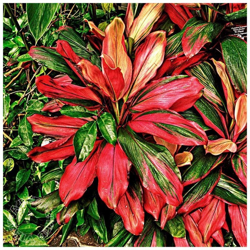 """""""Ti Plant"""", """"Hawaiian Ti"""", """"Cordyline Fruticosa"""""""