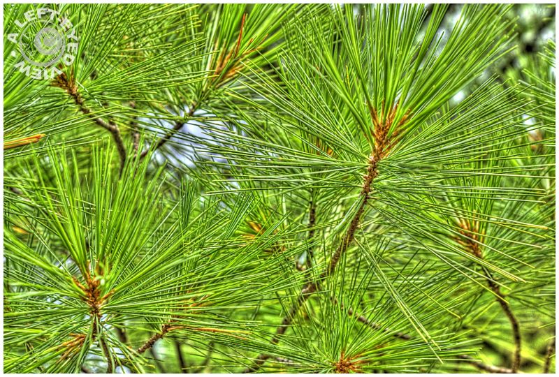 """Needles, pine, """"A Left-Eyed View"""""""