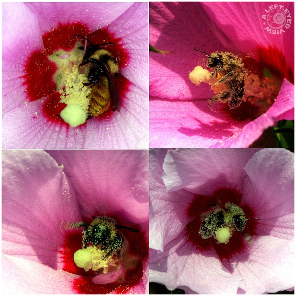"""""""Bathed in Pollen"""", """"A Left-Eyed View"""", hibiscus"""