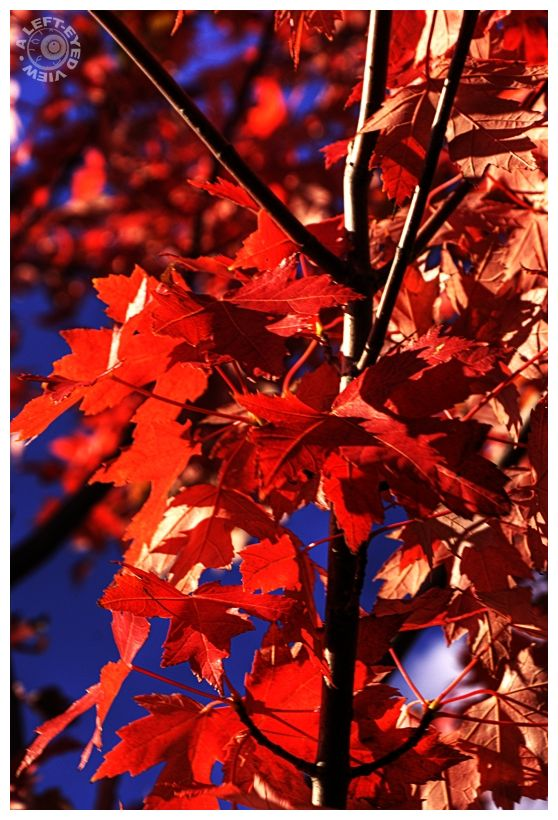 """maple leaves"", autumn, ""A Left-Eyed View"", ablaze"