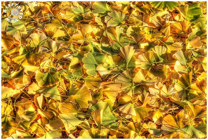 """""""Ginkgo Biloba"""", leaves"""