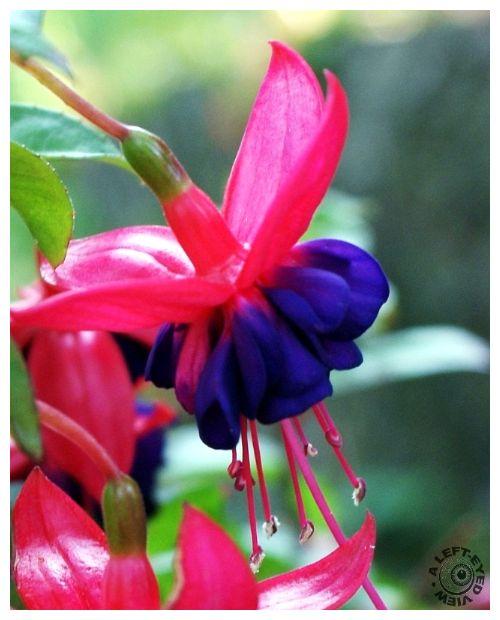 """""""A Left-Eyed View"""", """"Fuschia flower"""""""