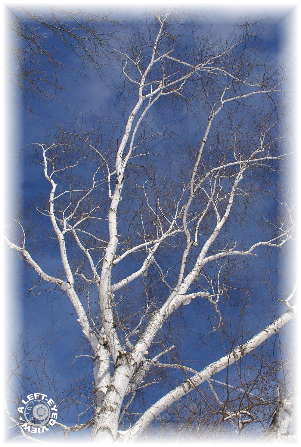 """Birch tree, """"A Left-Eyed View"""""""