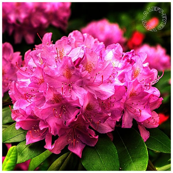 """Rhododendron, """"A Left-Eyed View"""""""