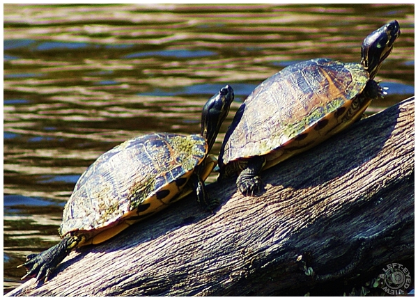 Turtles, Sanibel River, Sanibel Island