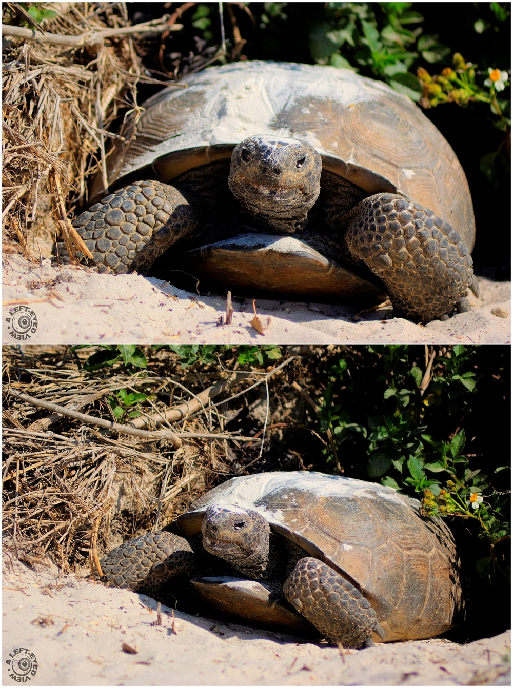 """""""Gopher Tortoise"""", """"A Left-Eyed View"""""""