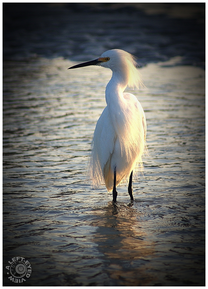 """Egret, """"Fort Myers Beach, """"A Left-Eyed View"""""""