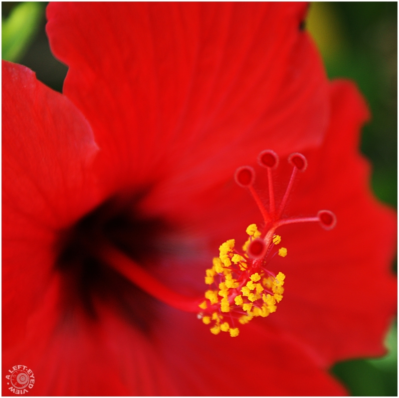 """Hibiscus, flower, Florida, """"A Left-Eyed View"""""""
