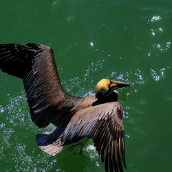 """Pelican, """"Fort Myers Beach"""", """"A Left-Eyed View"""""""