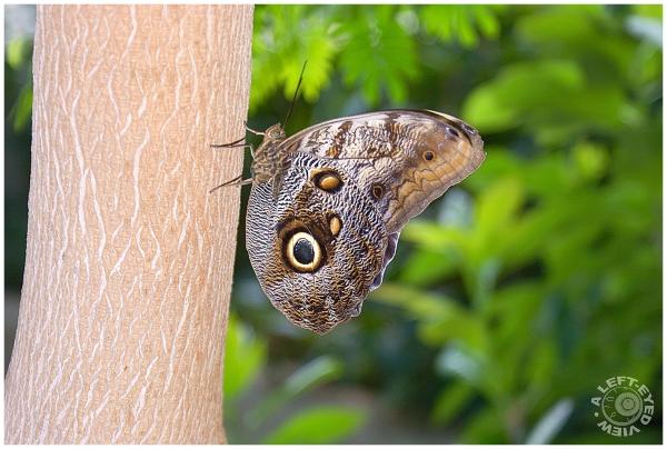 """""""Owl Butterfly"""", """"Caligo memnon"""""""