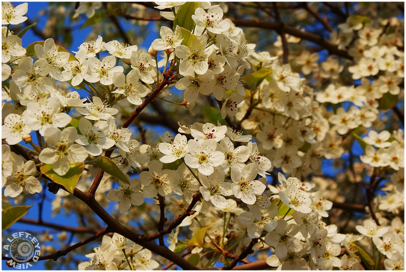 """Bartlett Pear Tree, """"A Left-Eyed View"""""""