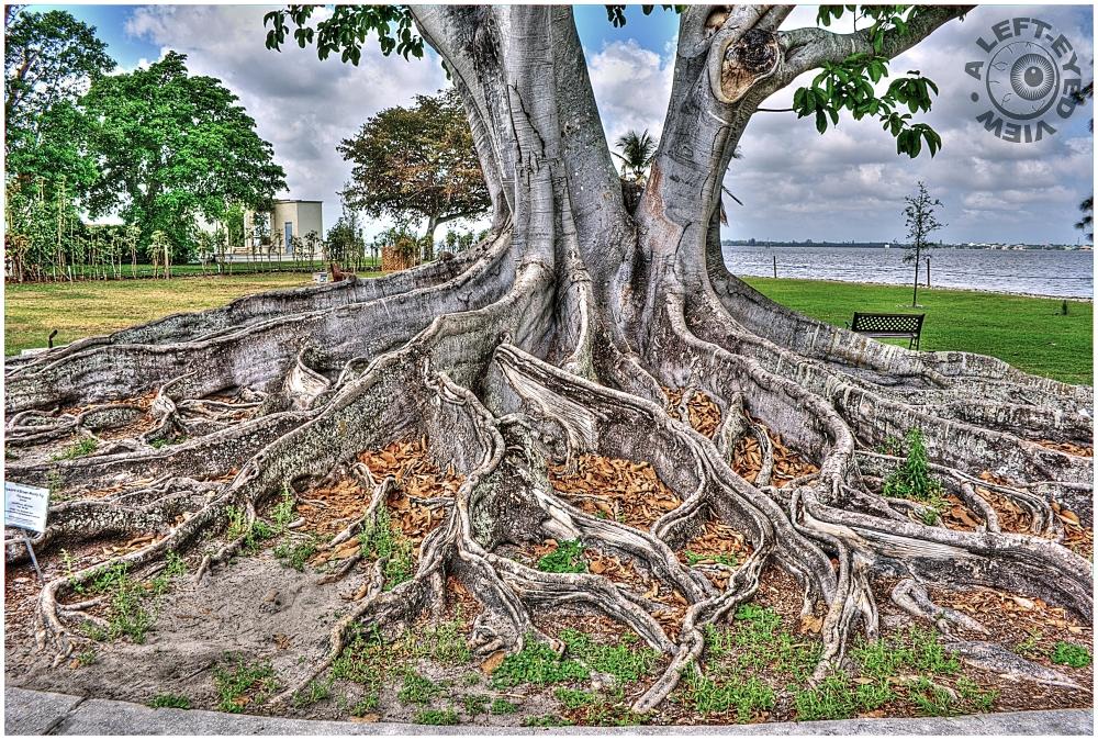 mysore fig tree  2 - plant  u0026 nature photos