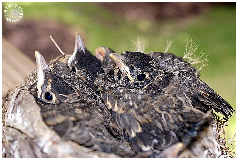 Robins, robin, nest
