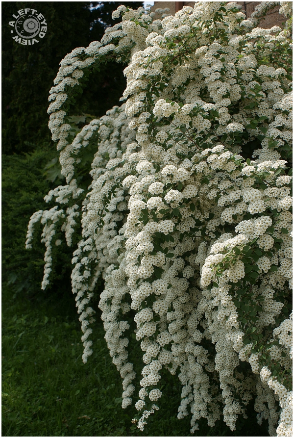 """Bridal Wreath Flowers"", Spirea"