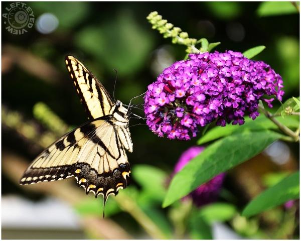 """""""Giant Swallowtail"""""""