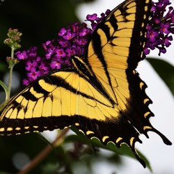 """""""Giant Swallowtail"""", Butterfly"""