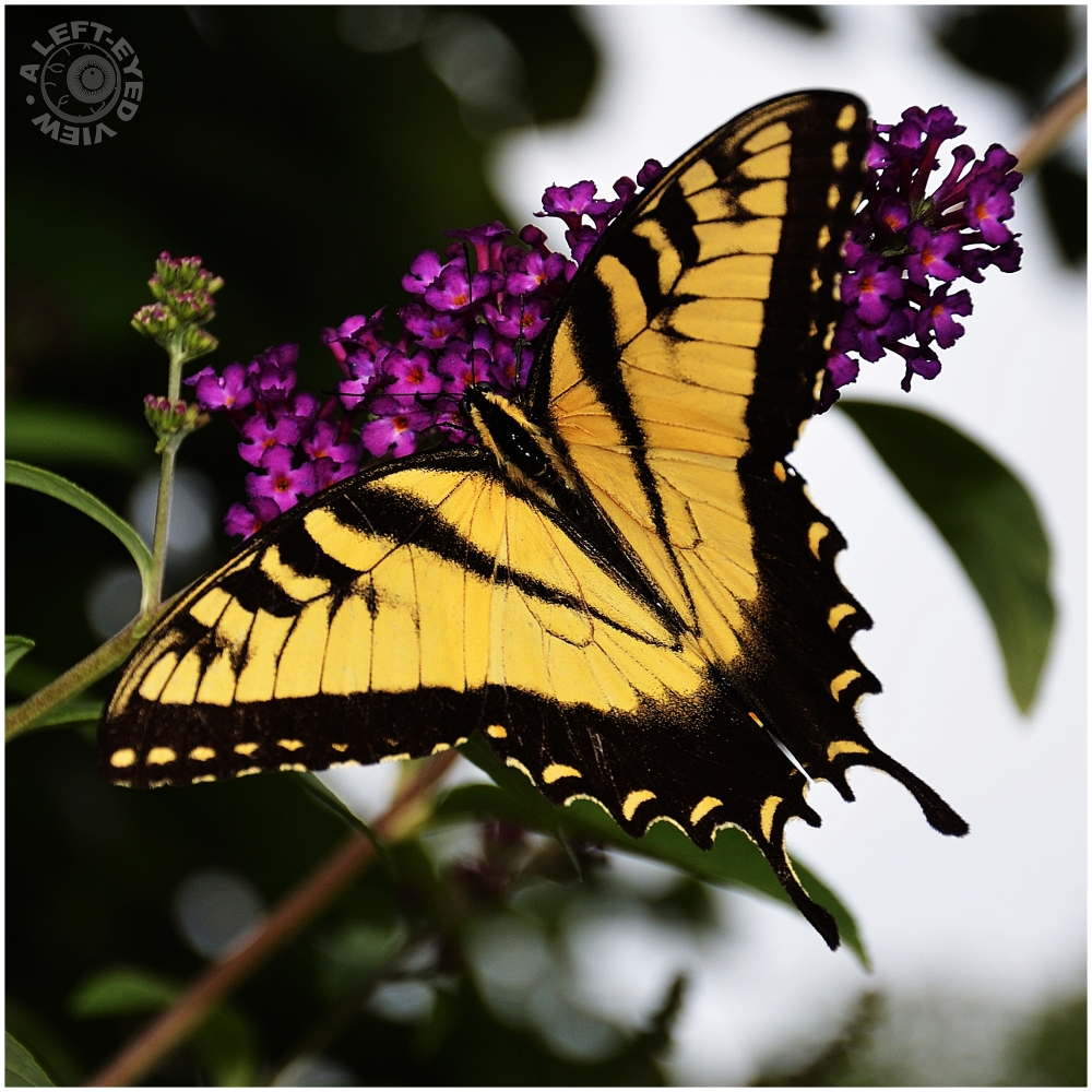 """Giant Swallowtail"", Butterfly"