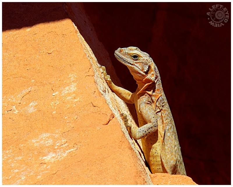"""lizard, """"Valley of Fire"""""""