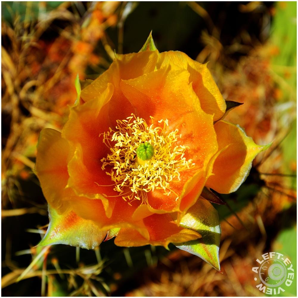 """""""Cactus Blossom"""""""