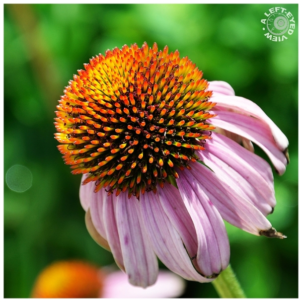 Purple Cone Flower #2