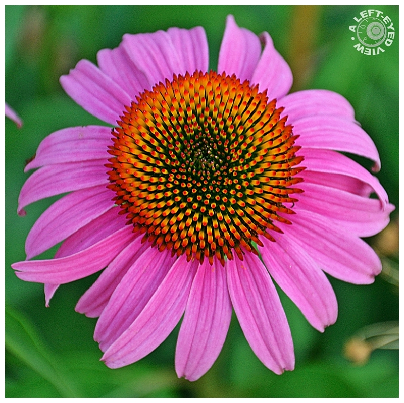 """Purple Cone Flower"""