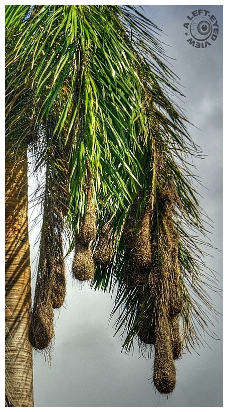 """""""Montezuma Oropendola Nests"""""""