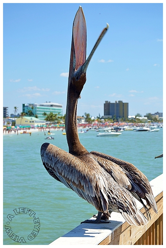 """Pelican, """"A Left-Eyed View"""""""