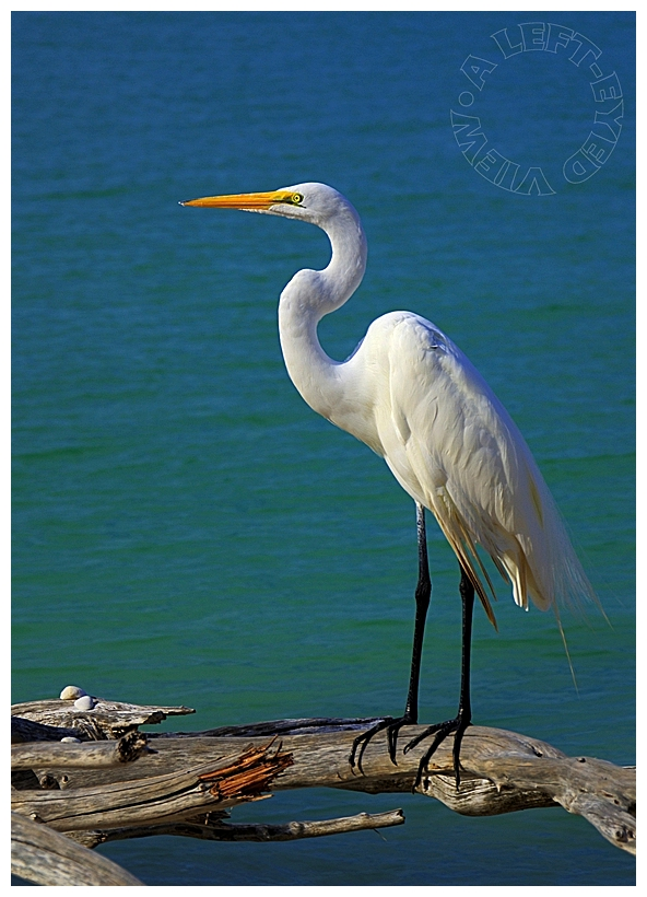 """Snowy Egret"", ""A Left-Eyed View"""