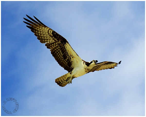 "Osprey, ""A Left-Eyed View"""
