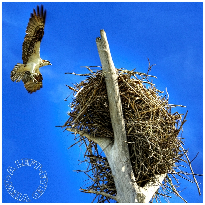 """Osprey, """"A Left-Eyed View"""""""