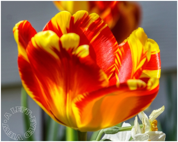 """Tulip, """"A Left-Eyed View"""""""