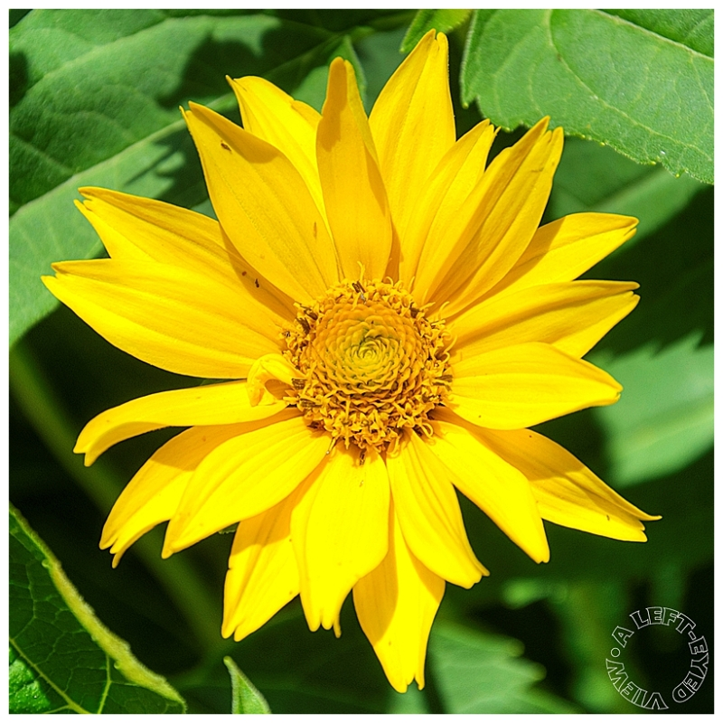 """Yellow Flower, """"A Left-Eyed View"""""""