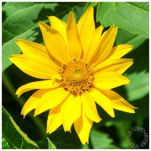 "Yellow Flower, ""A Left-Eyed View"""