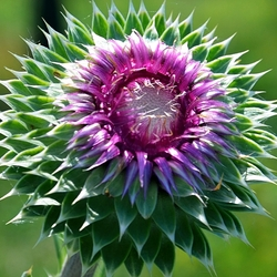 """musk thistle"", ""A Left-Eyed View"""