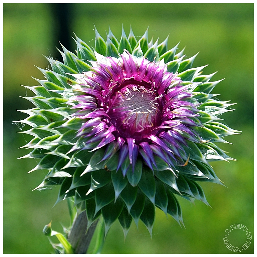 """""""musk thistle"""", """"A Left-Eyed View"""""""