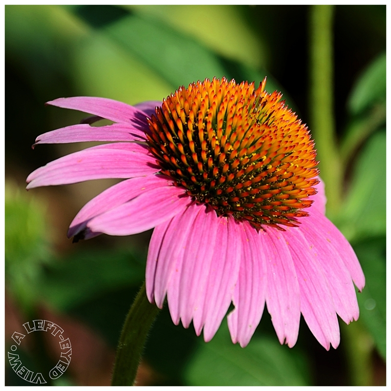 """""""Purple Cone Flower"""", """"A Left-Eyed View"""""""